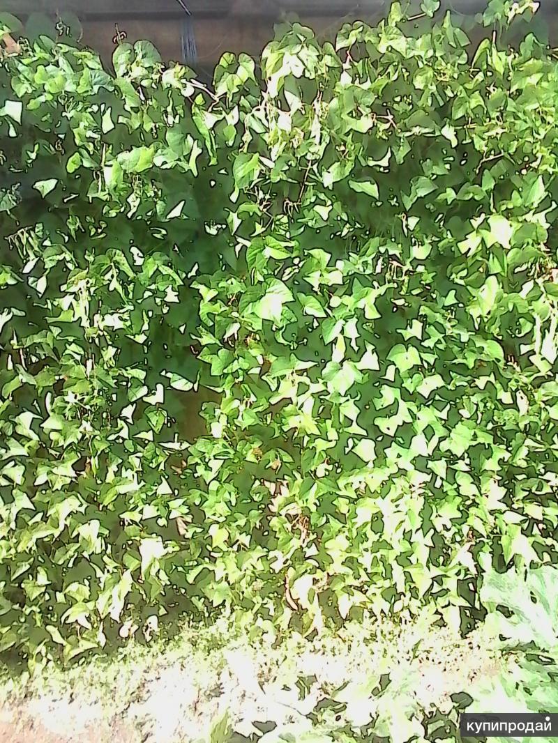 Фасоль для живой изгороди фото