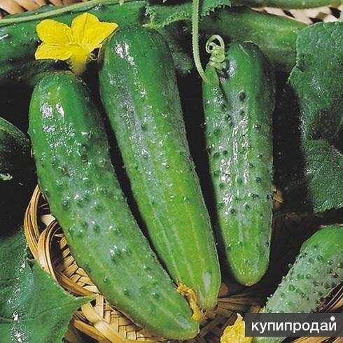 Продам семена-Огурец Зозуля F1, популярный гибрид для теплиц