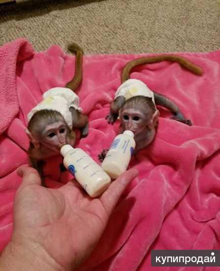Замечательный Прекрасный мартышки обезьян для принятия