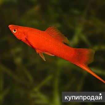 Красный меченосец