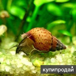 Улитка - Гранифера ( granifera)