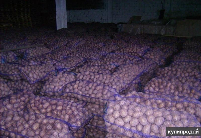 Картофель оптом от производителя.
