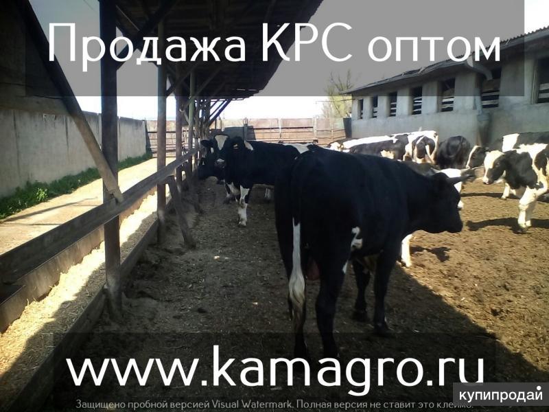 Высокопродуктивный молочный скот