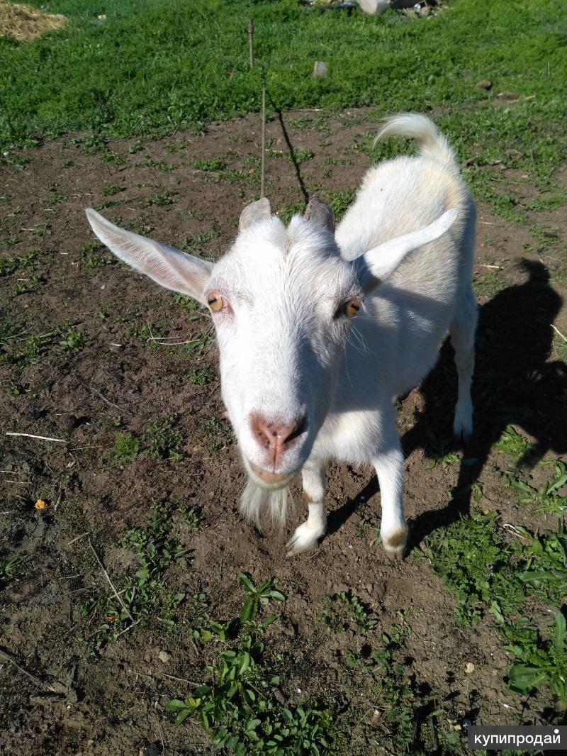Продам двух коз