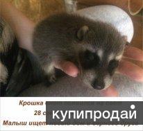 Ручные малыши енота полоскуна (рождены 28.09.17)