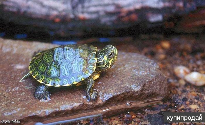 Красноухие черепахи , пара , Корма для черепах