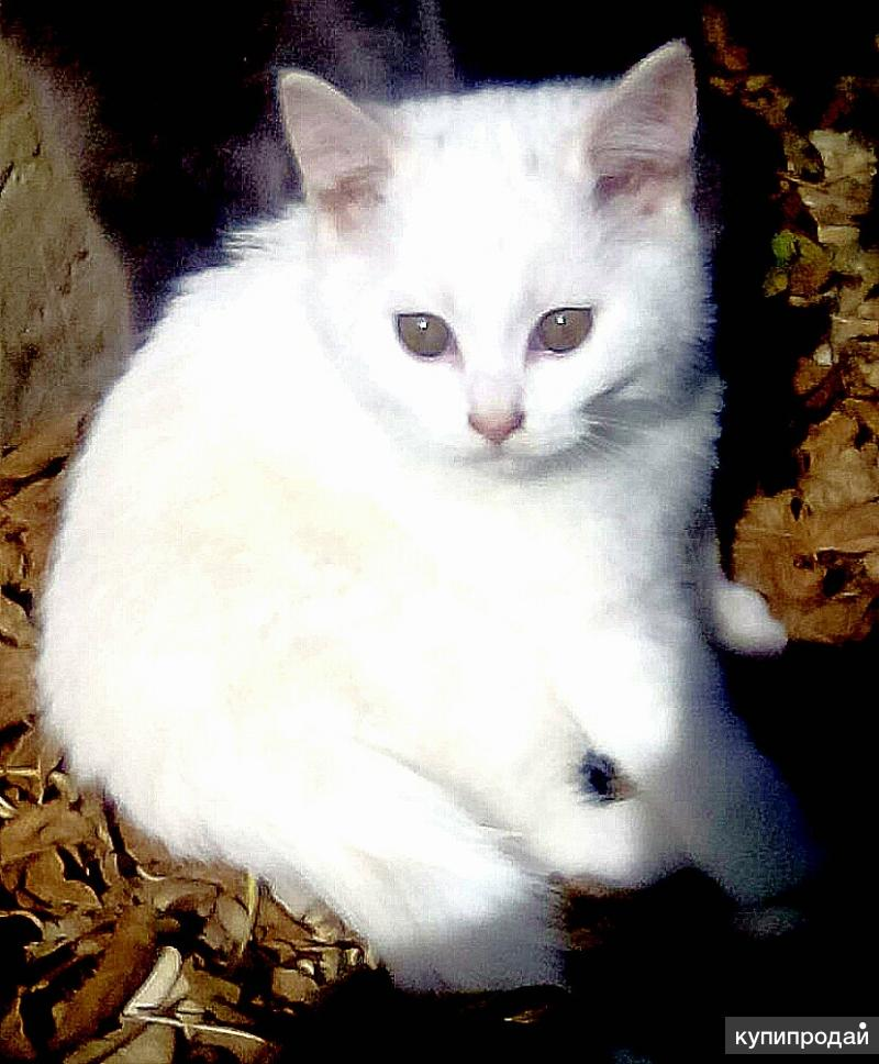 Котёночек Девочка от кошки британки
