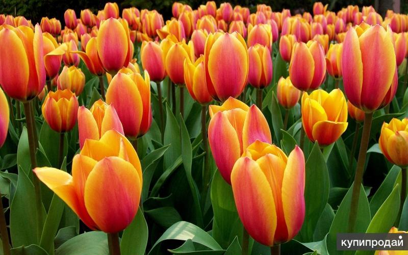 Луковицы крупных тюльпанов