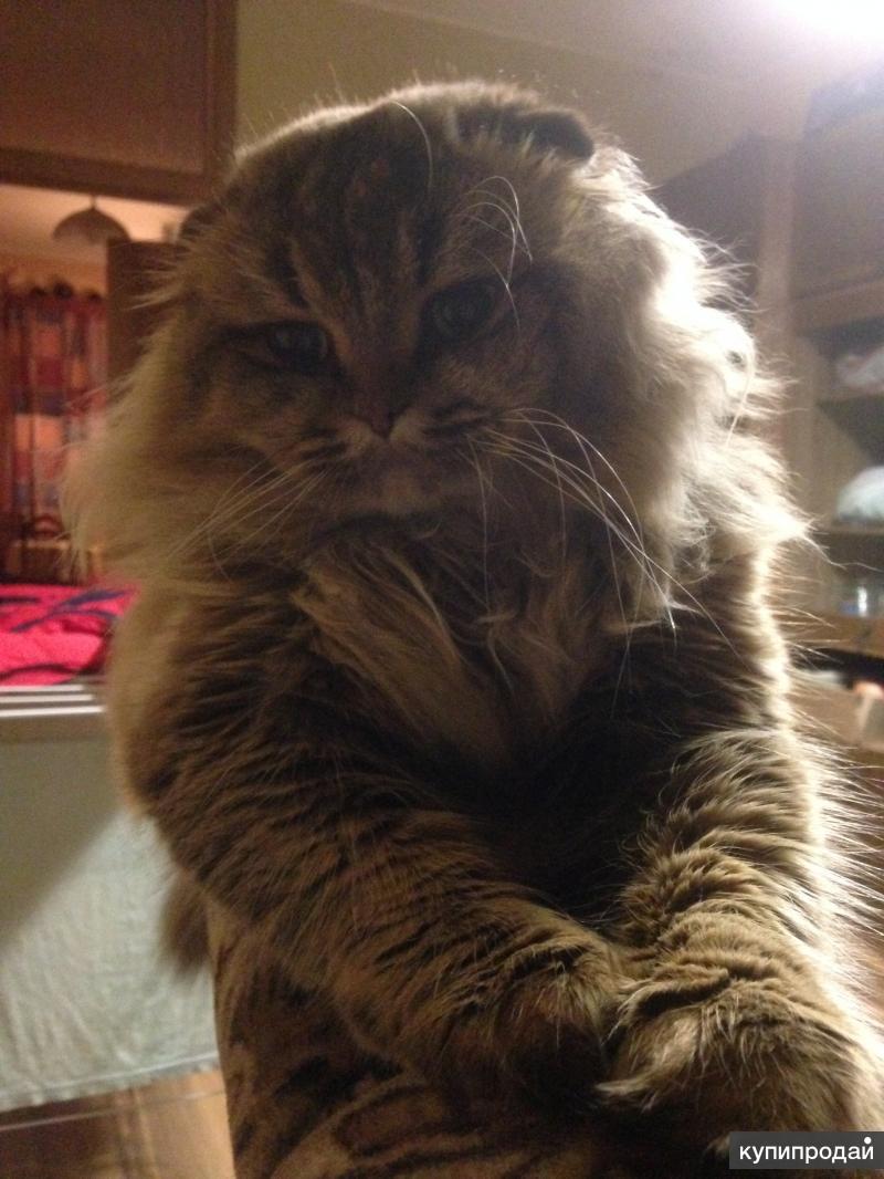 Шотландский вислоухий шикарный кот ищет прямоухую кошечку