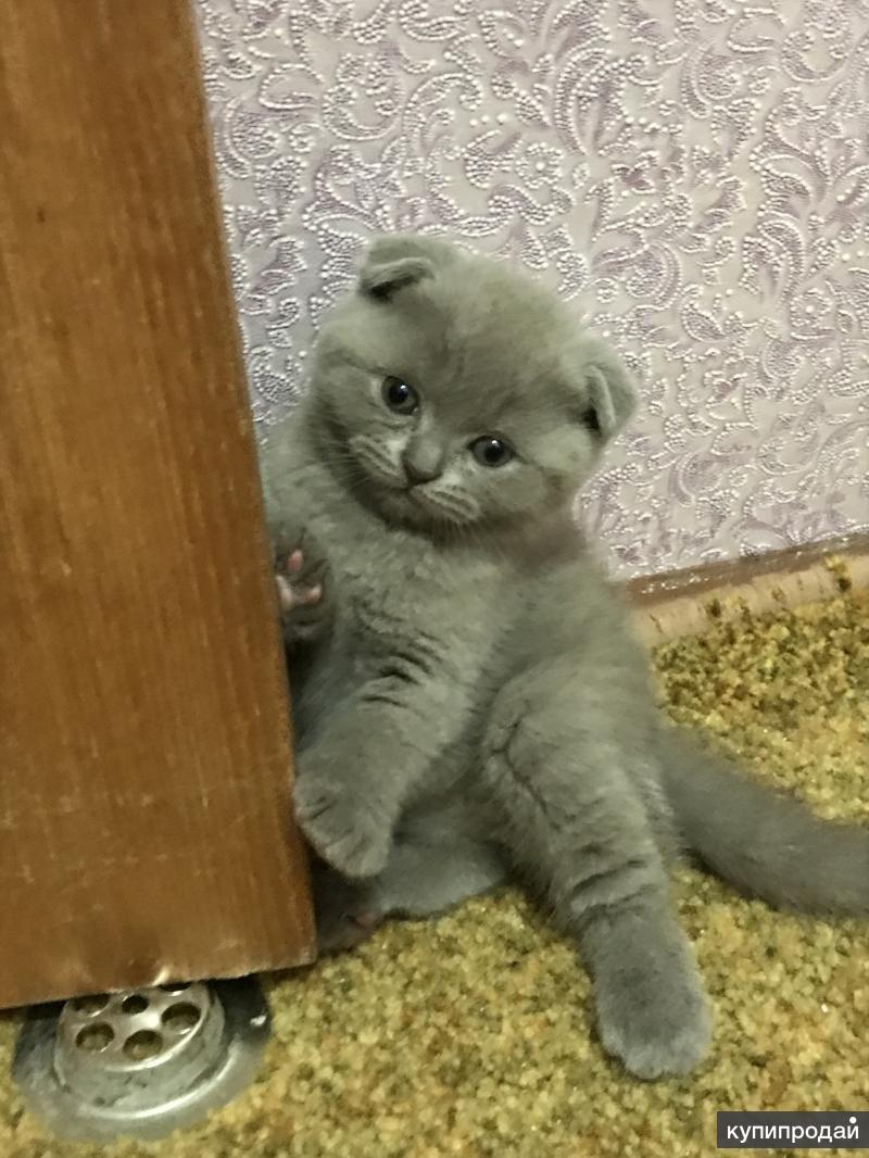 котята шотландские вислоухие развитие фото окаймляют хвойные