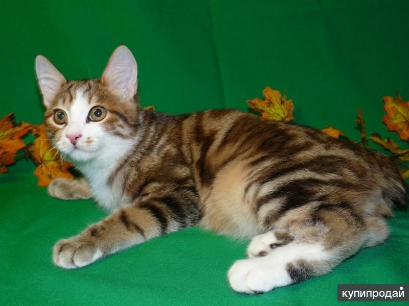 Курильские бобтейлы элитные котята золотые мраморные