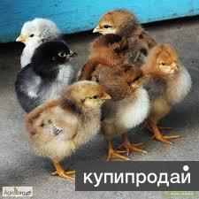 Продажа цыплят