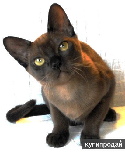 соболиные бурманские котята на продажу