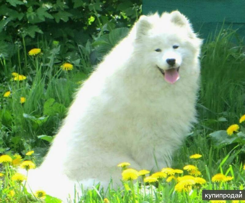 Самоед вязка + щеночки на продажу