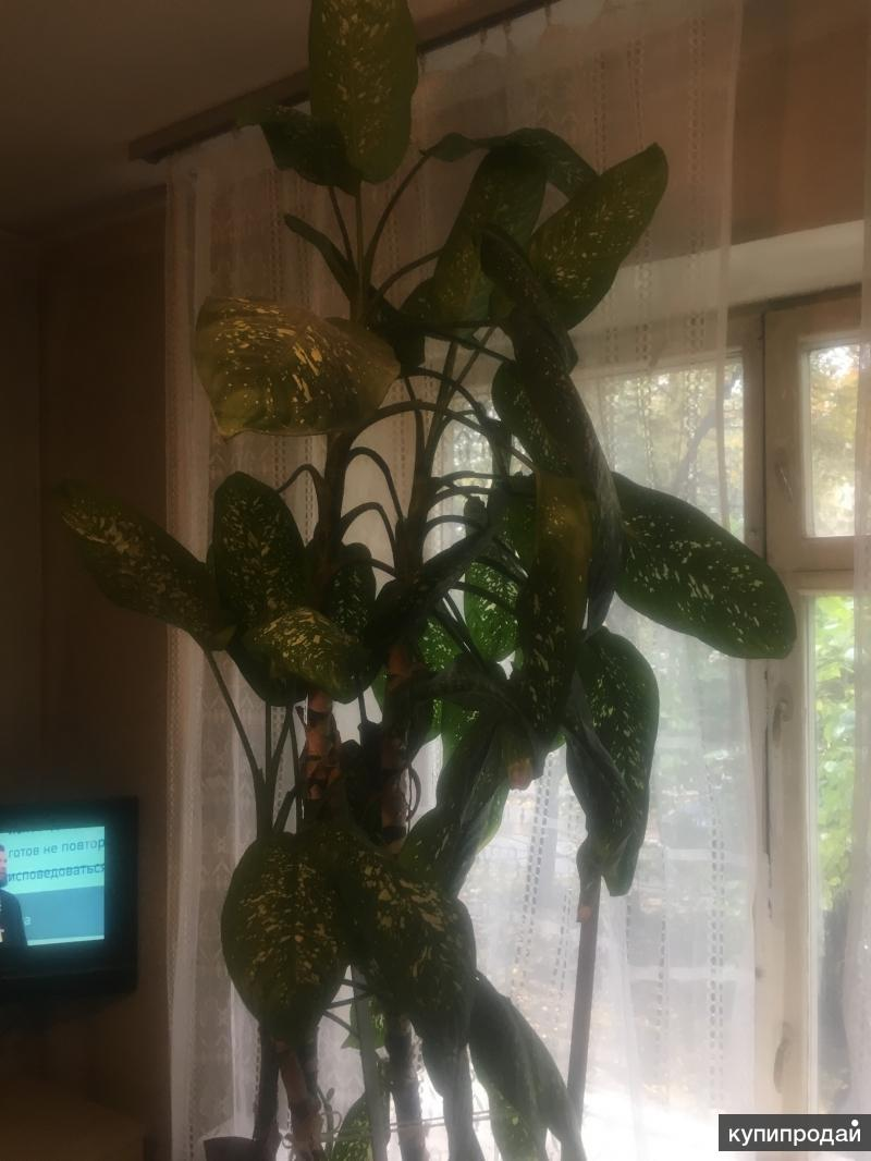 Цветы Дифенбахия и аспарагус