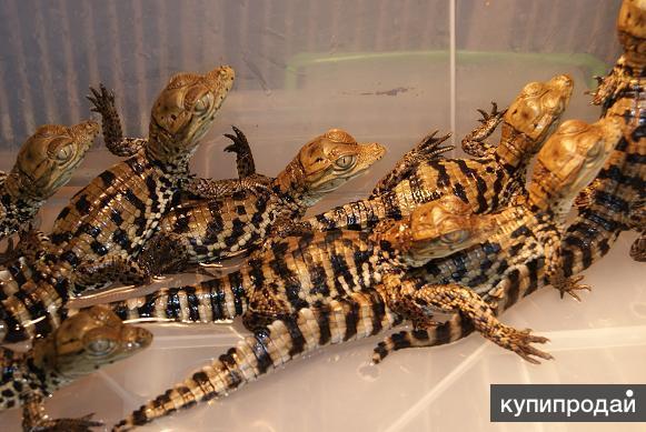 Продаю нильских крокодилов в Астрахани