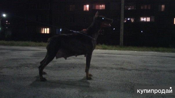 Продам щенка добермана