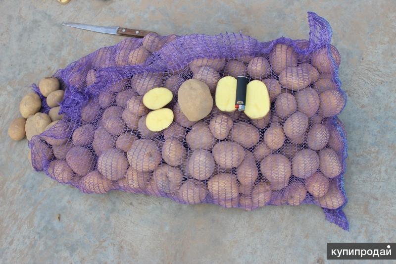 Картофель оптом от производителя. Брянская область