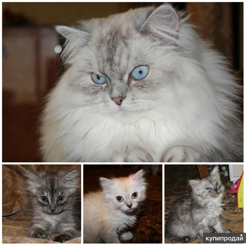 Котята от Невской маскарадной кошки