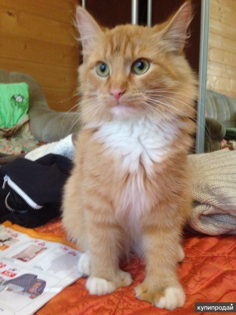 мэйкун фото котята метисы обязательно нужны фото-образцы