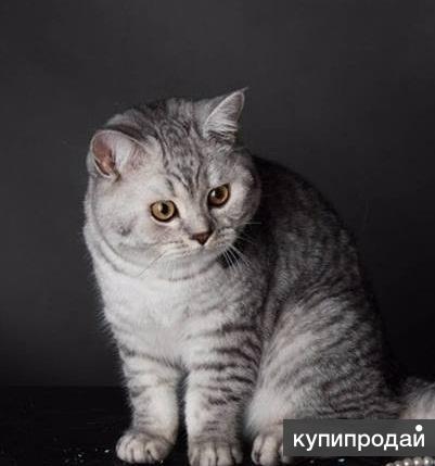 Чистокровного брит котика уникальных линий