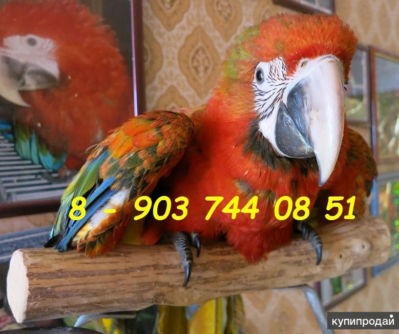 Гибриды попугаев ара - ручные птенцы из питомников Европы