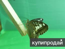 Высоко прпбыльный бизнес ферма Живых Ярких Бабочки изЮАР