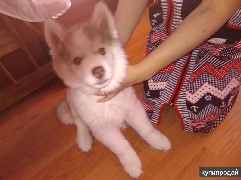 Продаётся щенок сибирского хаски.
