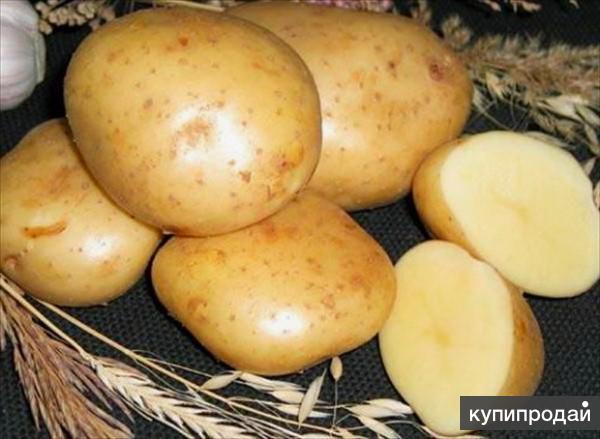 Картофель Гала оптом