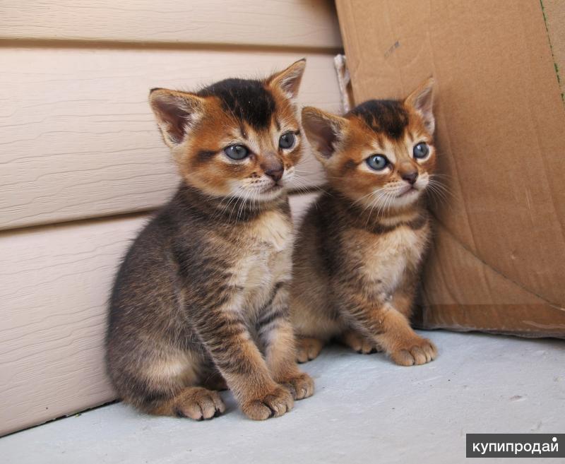 Котята полукровки