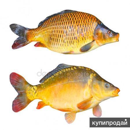 Речная рыба оптом