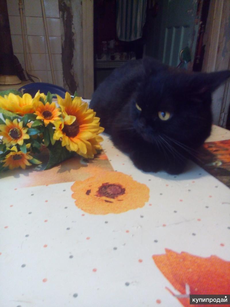 Отдам персидскую кошку