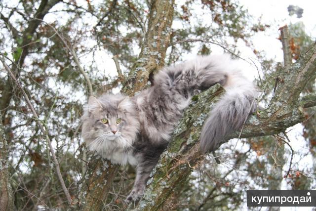 Норвежские лесные - крупные красивые котята