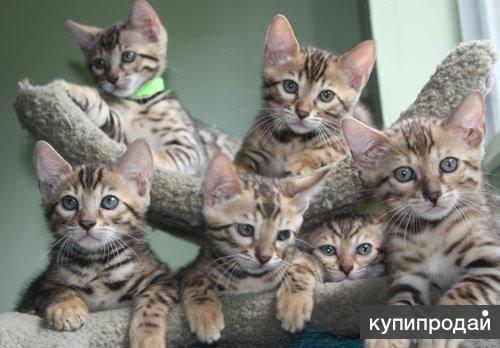 Новый помет 6 великолепных бенгальских котят
