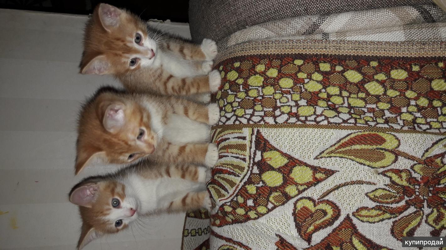 Рыжие котята на счастье