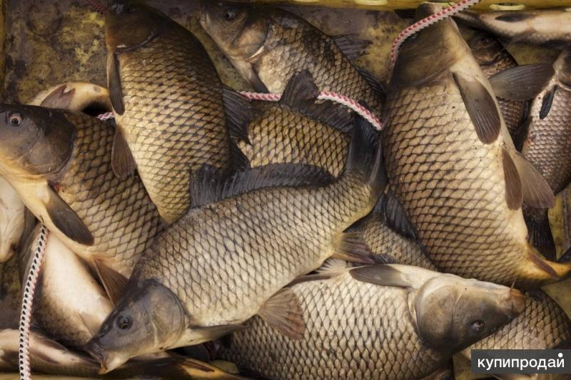 Продается живая рыба карп