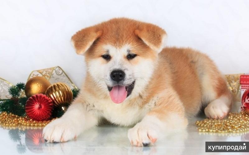 Продам щенков японской лайки (Хатико)