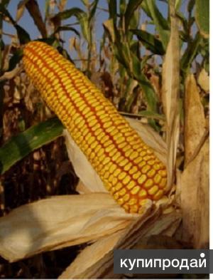 Cемена гибридной кукурузы Краснодарский 291 АМВ
