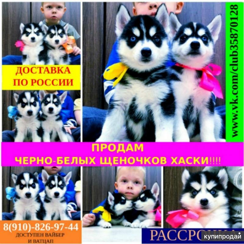 Черно-белые щеночки сибирской хаски