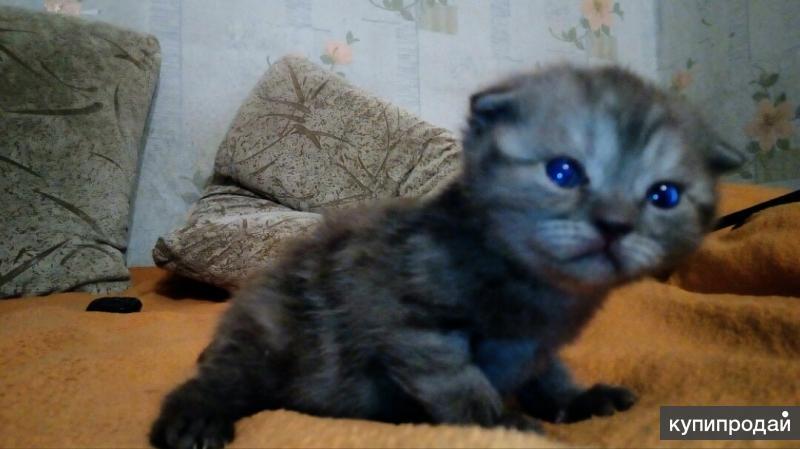 Породам шотландских котят