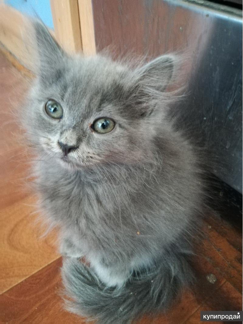 Фото дымчатые пушистые котята в хорошие руки
