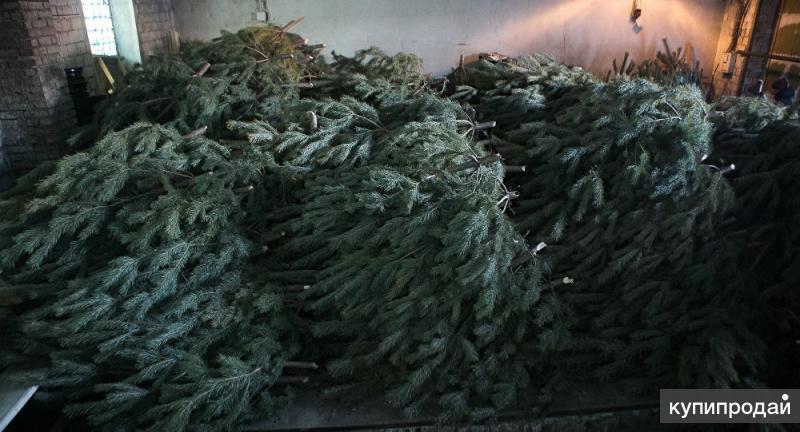 Живые новогодние сосны елки оптом от производителя