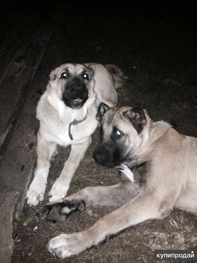 Пропали взрослые собаки