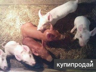 Породистые свиньи, поросята