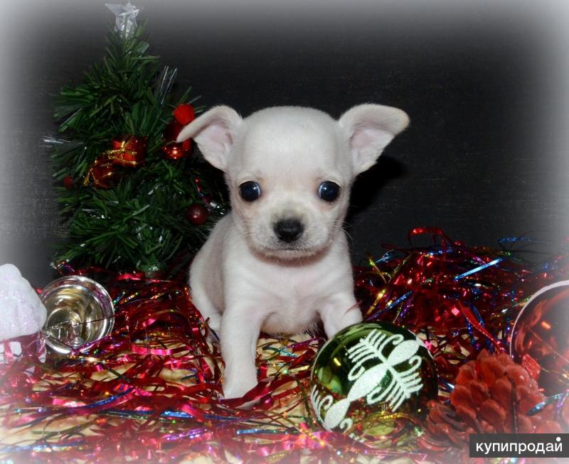 Чудесные щенки чихуахуа к новому году
