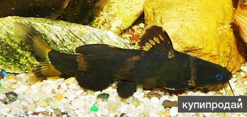 сом касатка - Pseudomystus siamensis