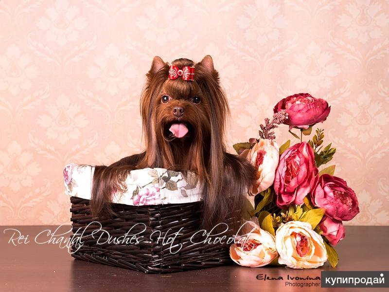 Мини йорк, кобель шоколадного окраса, вязка