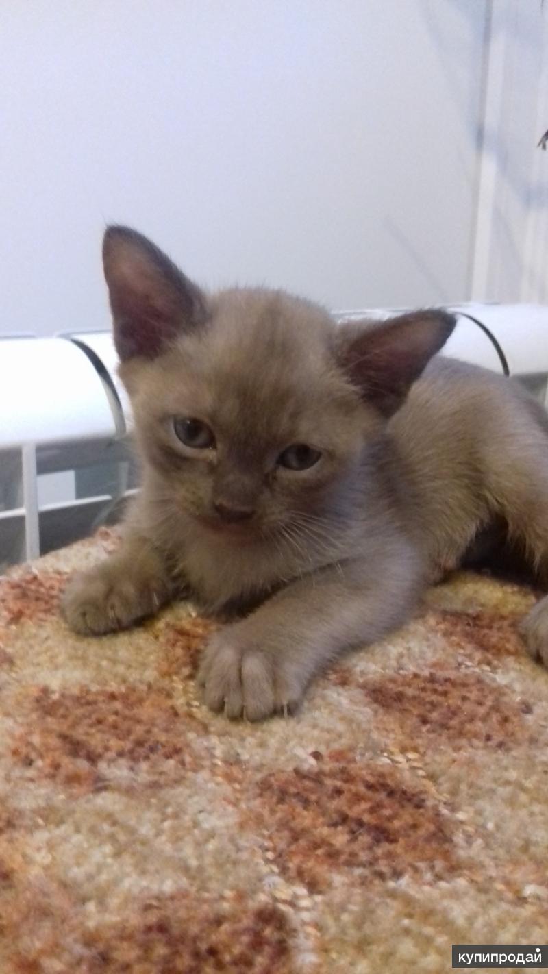Бурманский чудо котик