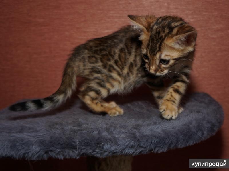Котята бенгальские из питомника WCF