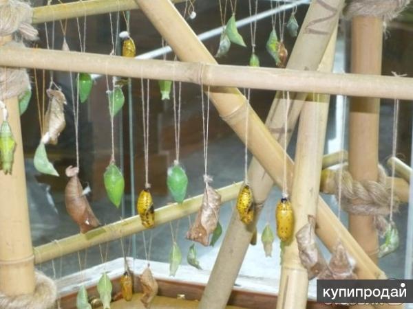 Высоко доходный  бизнес ферма Живых Тропических Бабочек  из Коста Рикки